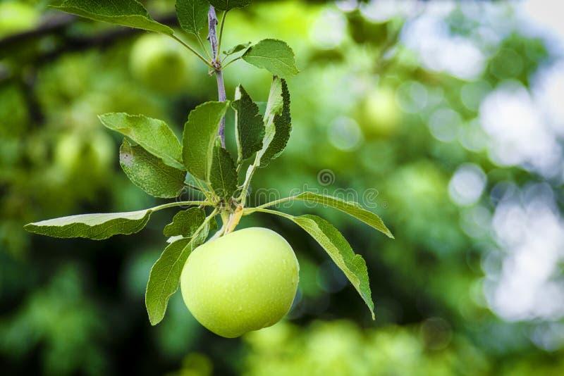 Растущее зеленое яблоко Молодое яблоко на ветви стоковые изображения rf