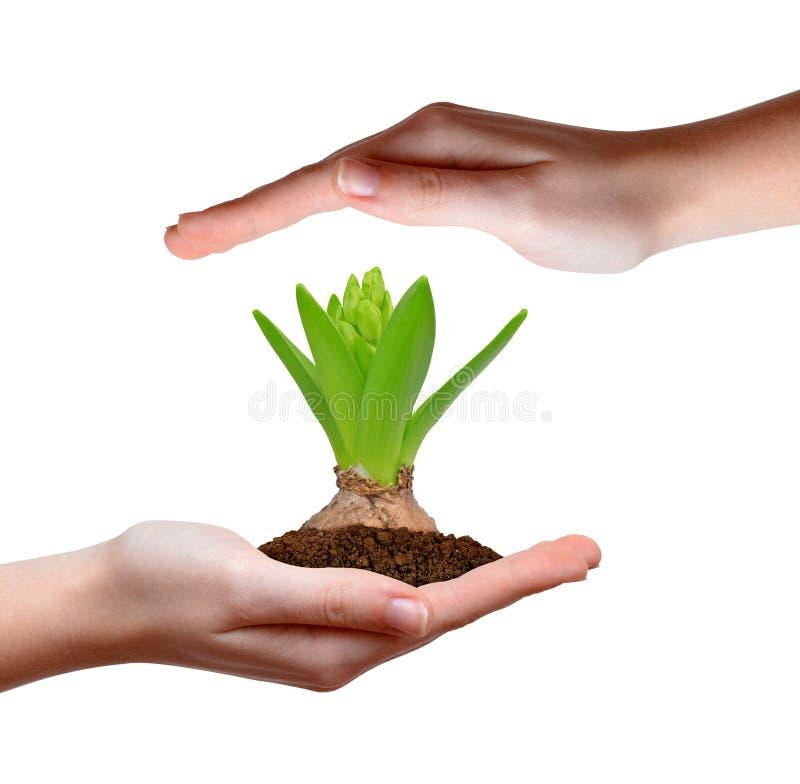 Растущее зеленое растение в руке стоковое изображение rf
