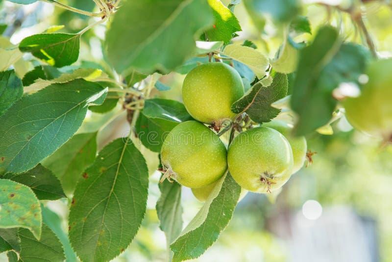 Растущее плодоовощей Яблока на ветви яблони в саде стоковое изображение rf