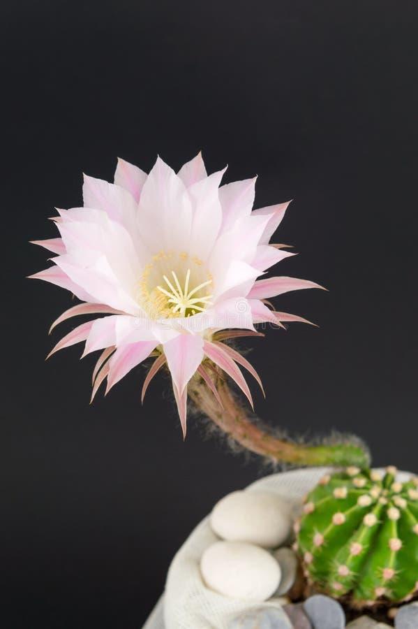 Растущее цветка кактуса от малого кактуса стоковое фото rf