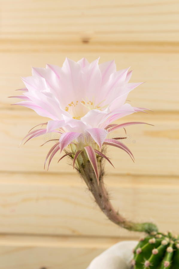 Растущее цветка кактуса от малого кактуса стоковые изображения