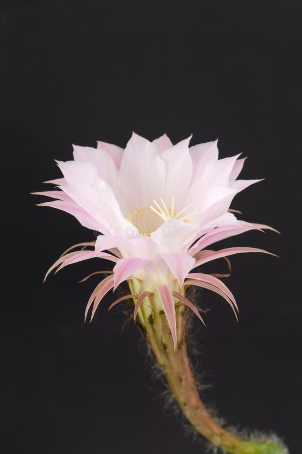 Растущее цветка кактуса от малого кактуса стоковое изображение