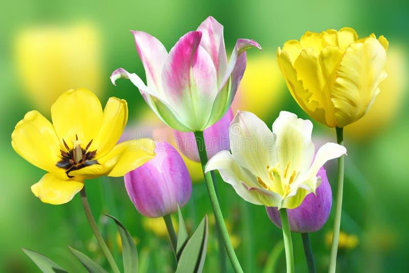 Растущее цветков тюльпанов в зеленой траве стоковые изображения