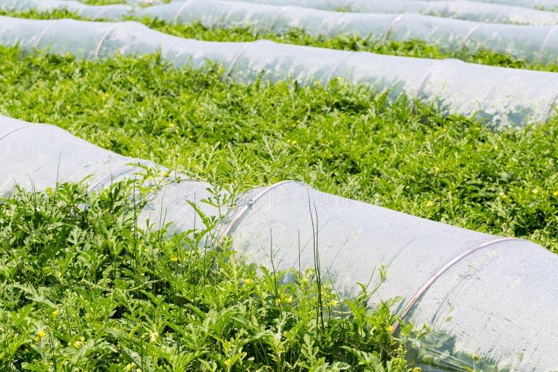 Растущее cropland арбуза стоковые изображения rf