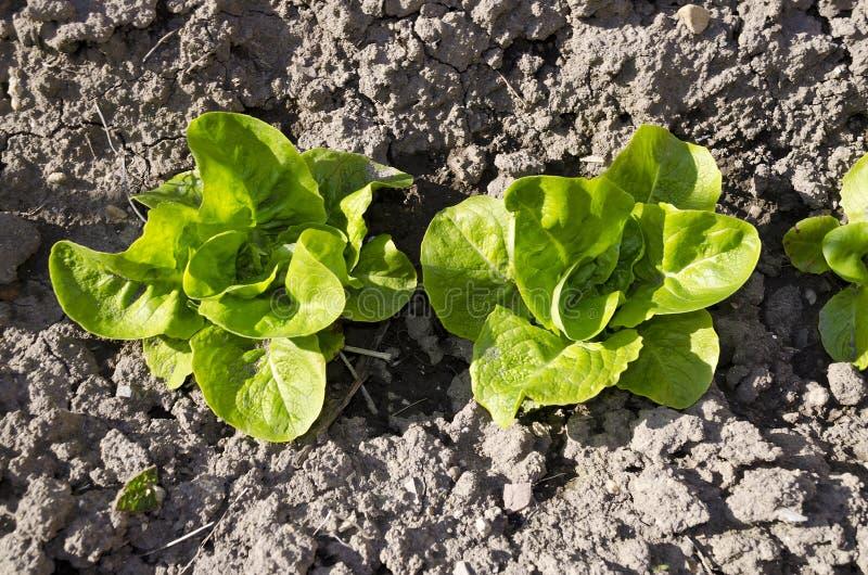 Растущие био овощи стоковая фотография