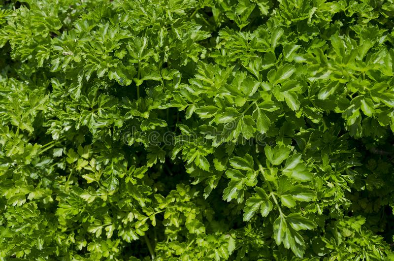 Растущие био травы и овощи стоковые изображения