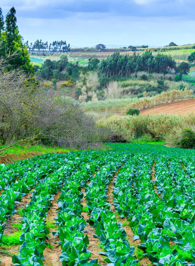 Растущие заводы капусты Ñ-n кровать гребут красную почву на обрабатываемой земле стоковое фото