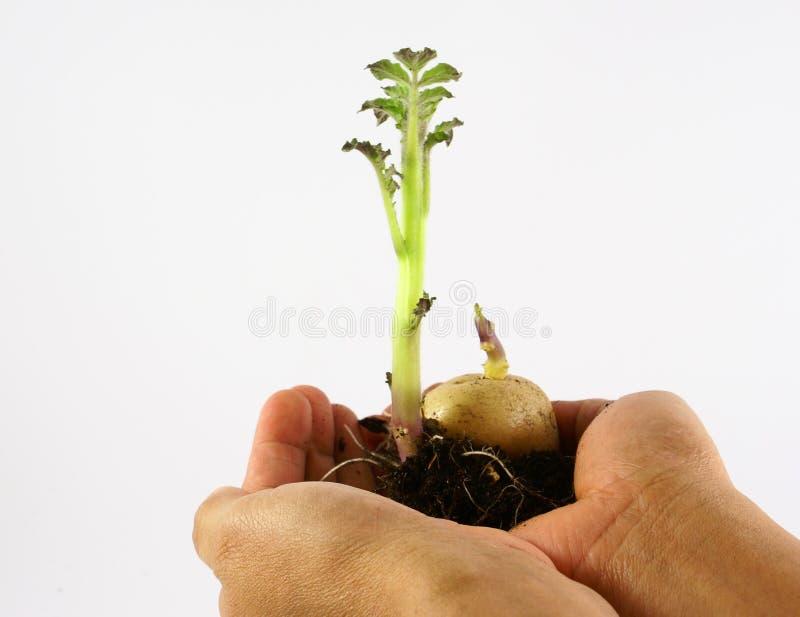 растущие семена картошки стоковая фотография rf