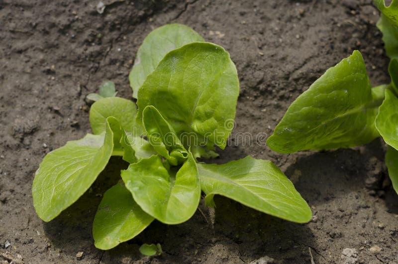 Растущие травы и салат стоковая фотография rf