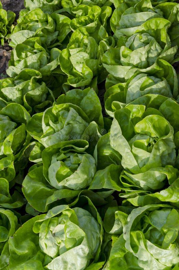 Растущий био салат стоковое фото rf