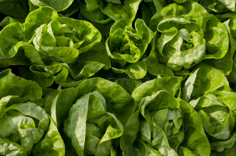Растущий био салат стоковая фотография