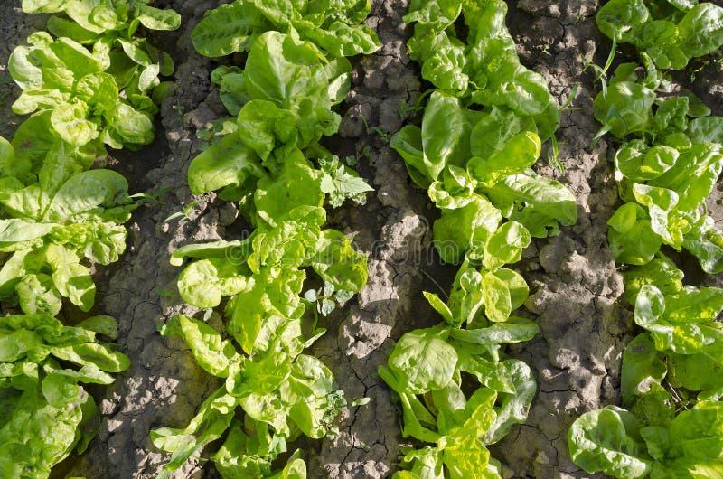 Растущий био салат стоковое фото