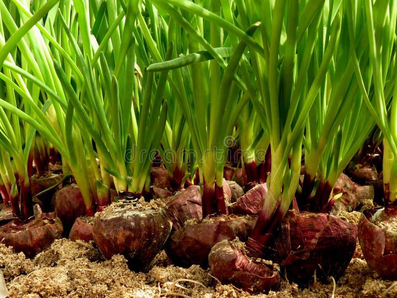Растущий зеленый лук в оранжерее стоковая фотография rf