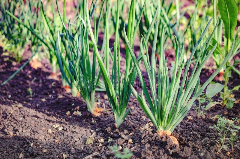 Растущий зеленый лук преследует в огороде стоковое изображение rf