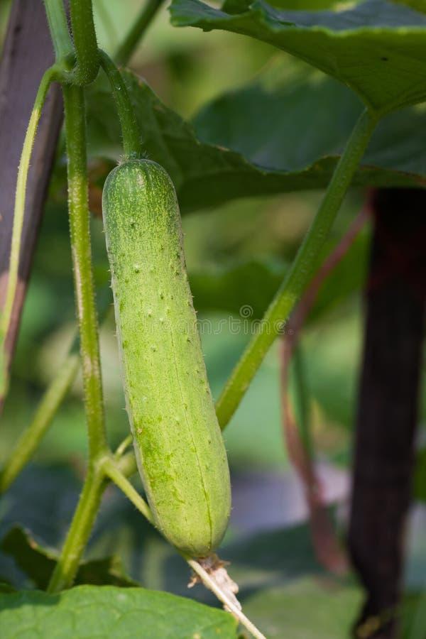 Растущий огурец Стоковые Фотографии RF