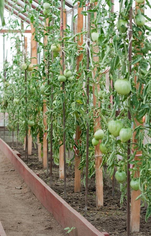 растущий теплицевый томат стоковая фотография rf