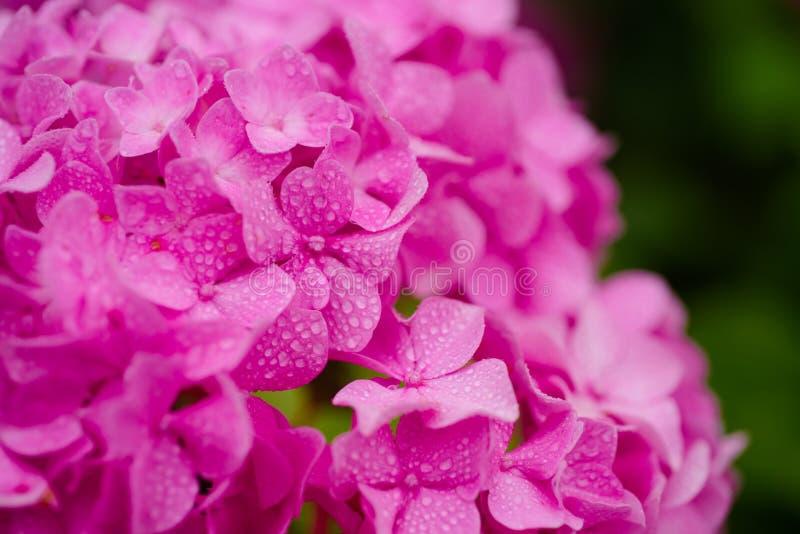 Растя красивые цветеня Розовое цветене гортензии полностью Показные цветки летом Цветение гортензии на солнечный день стоковое фото