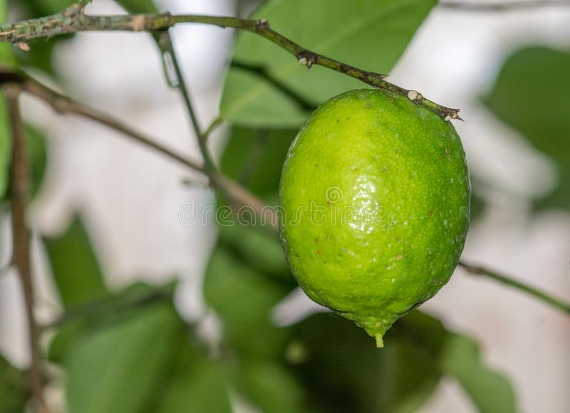 Растя лимон Мейера - meyeri цитруса - рутовые, парник ботанического сада Монреаля, Канада стоковая фотография