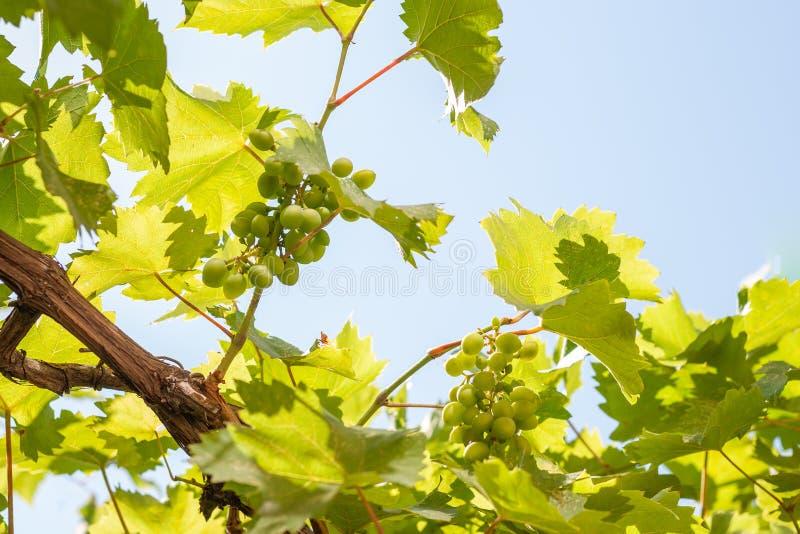 Растя лозы и виноградины в солнце стоковое изображение rf