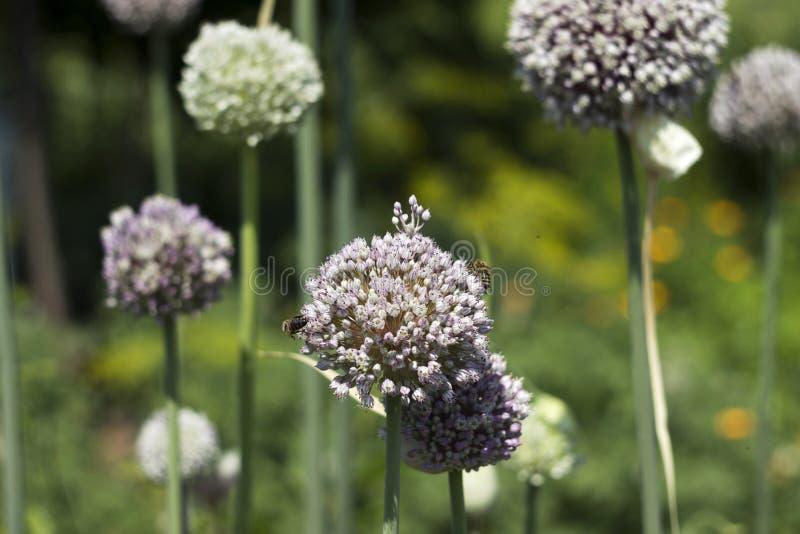 Растя лук-порей сада, цветене овоща, цветок Предпосылка земледелия Свежий, органический овощ стоковое фото