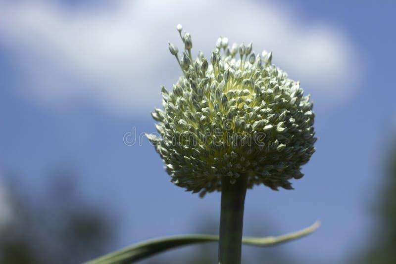 Растя лук-порей сада, цветене овоща, цветок Предпосылка земледелия Свежий, органический овощ стоковые фото