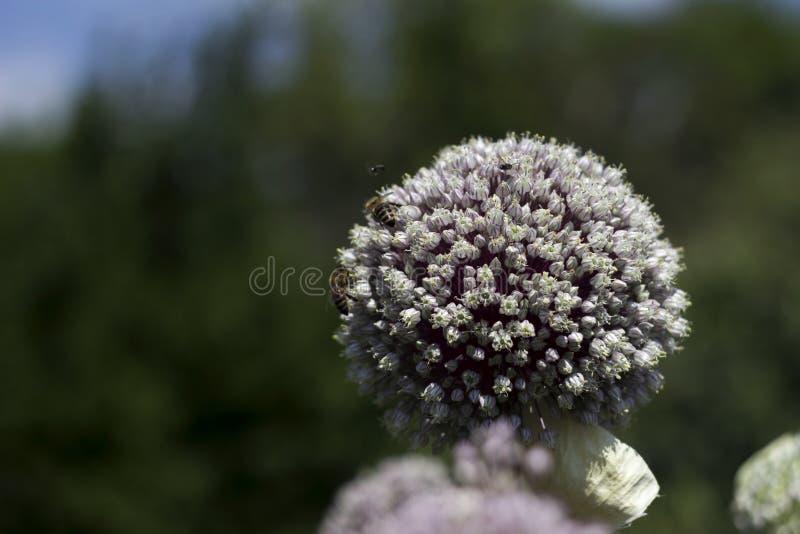 Растя лук-порей сада, цветене овоща, цветок Предпосылка земледелия Свежий, органический овощ стоковые изображения rf
