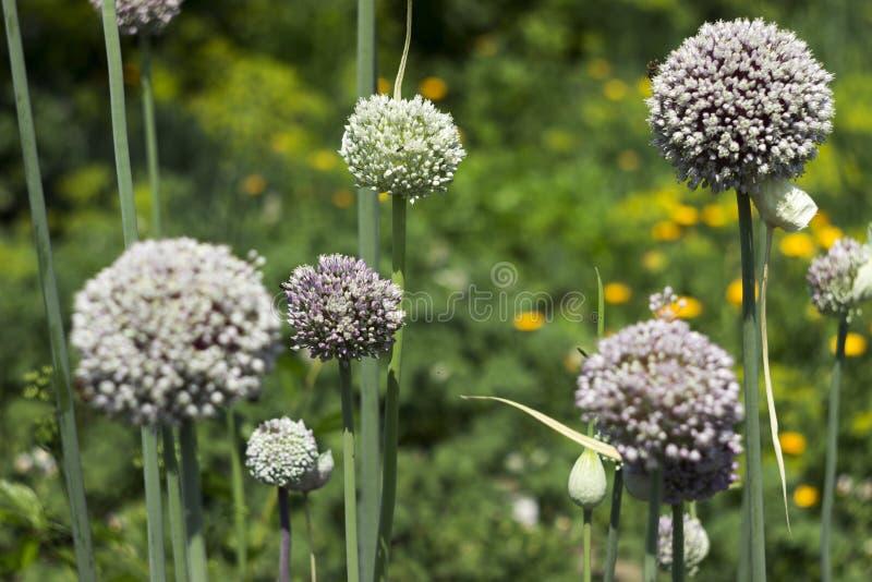 Растя лук-порей сада, цветене овоща, цветок Предпосылка земледелия Свежий, органический овощ стоковые изображения