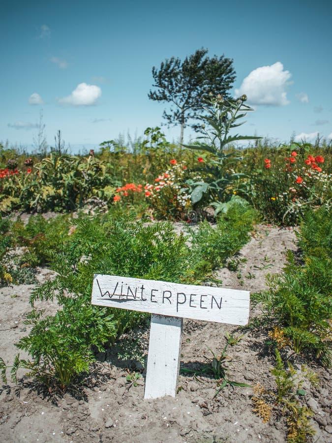 Растя морковь в небольшом огороде в Нидерланд, органическое сельское хозяйство зимы стоковая фотография