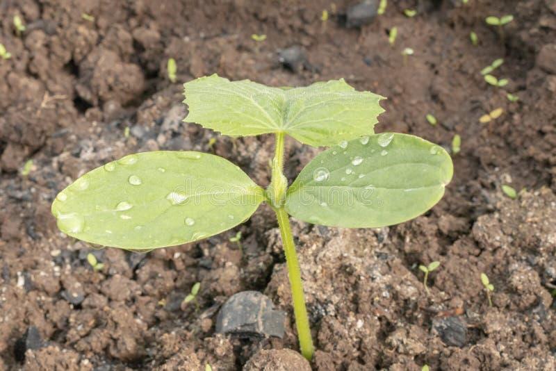 Растя овощи в парнике на графике Молодой огурец растет в парнике Желтый цветок огурца r стоковое изображение