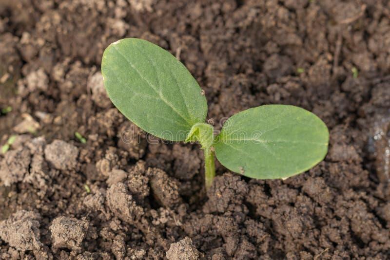 Растя овощи в парнике на графике Молодой огурец растет в парнике Желтый цветок огурца r стоковые фото