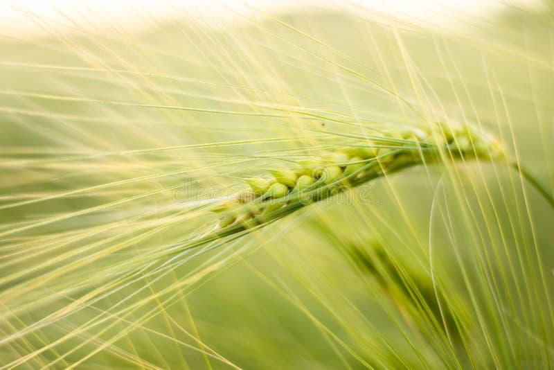 Растя пшеница в свете захода солнца символизируя рост, здоровое питание и богатство стоковые изображения rf