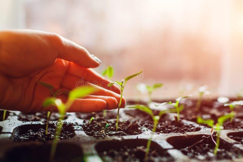 Растя ростки перца в баках дома Фермер проверяя саженцы Подготовка весны быть фермером земледелия стоковая фотография rf