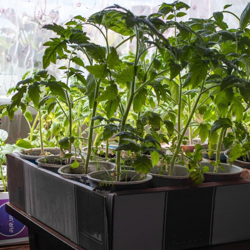 Растя саженцы огурца внутри помещения около окна Новые всходы с листьями стоковые изображения rf