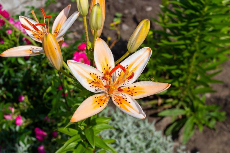 растёт лилия в саду, летом растут лилийные цветы в саду стоковые изображения