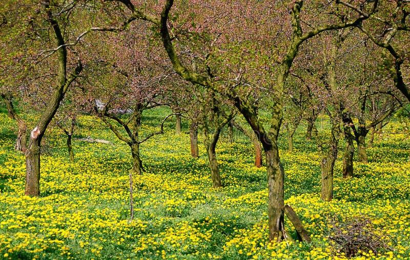 Расцветать деревья абрикоса #2 стоковое фото