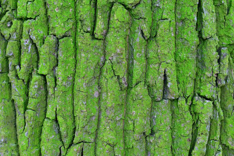 Расшива акации, северной стороны дерева, зеленого цвета стоковая фотография