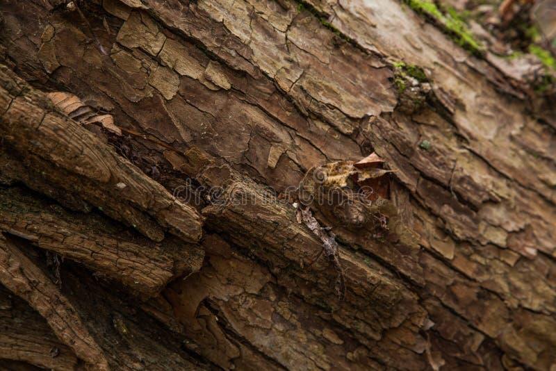 Расшива Брайна на пне дерева стоковое фото