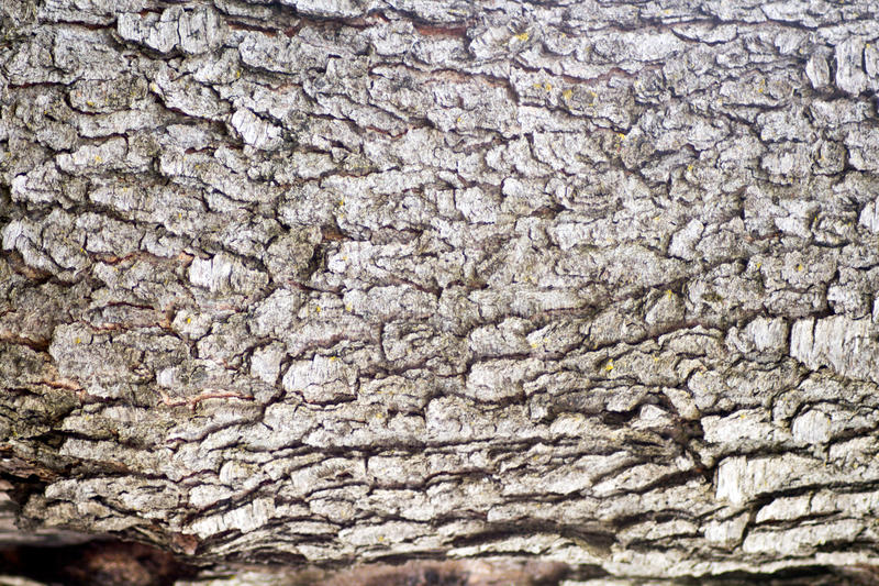Расшива вишневого дерева стоковые изображения