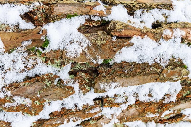 Расшива сосны предусматриванная с текстурой снега стоковое фото