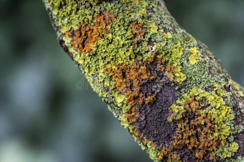 Расшива старого дерева с лишайником стоковые фото