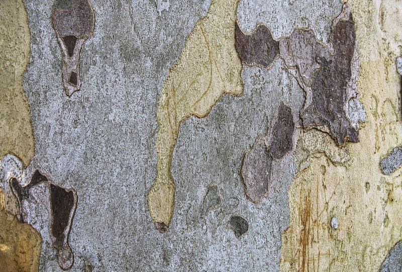 Расшива platan дерева стоковые изображения