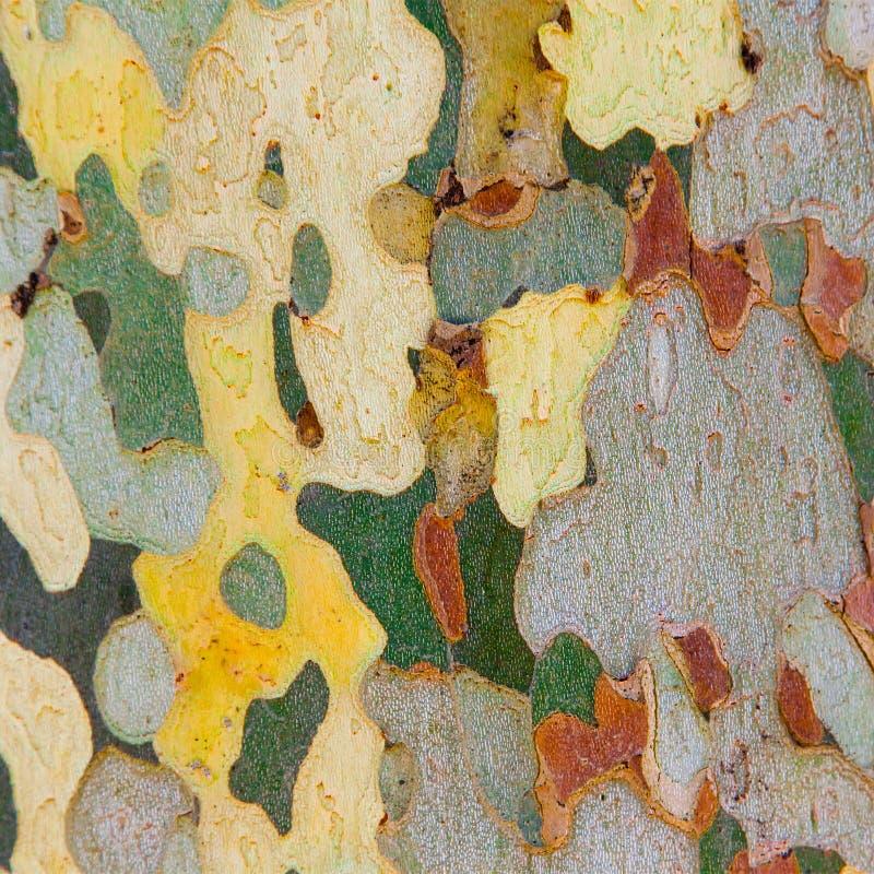 Расшива platan дерева стоковое изображение