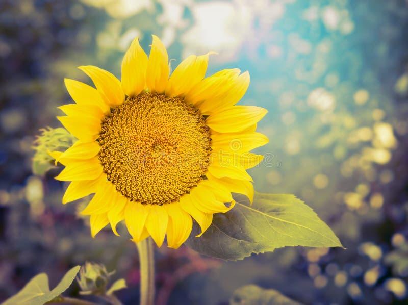 Радостный солнцецвет на предпосылке природы, конце вверх стоковое изображение rf