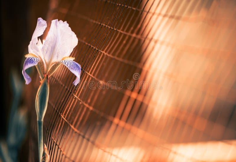 Радужка за загородкой стоковая фотография rf