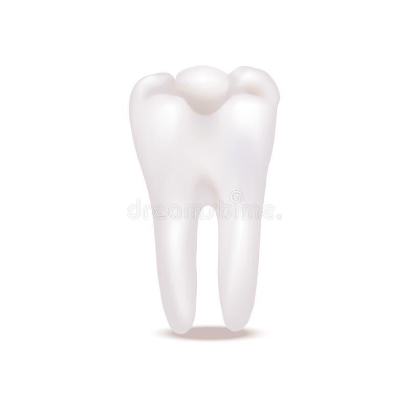 Реалистические детальные белые здоровые зубы 3d вектор иллюстрация штока