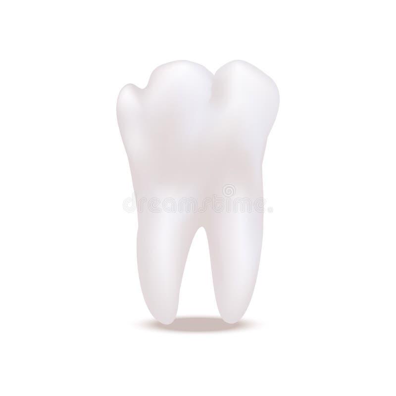 Реалистические детальные белые здоровые зубы 3d вектор иллюстрация вектора