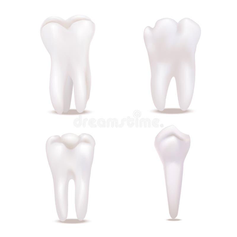 Реалистические детальные белые здоровые установленные значки зубов 3d вектор иллюстрация штока