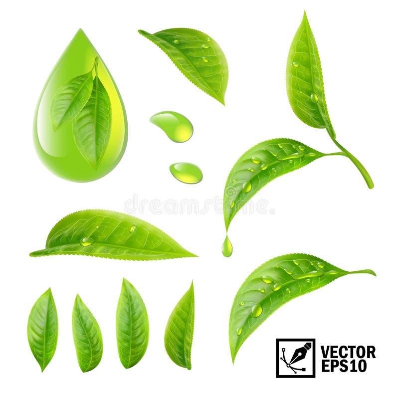 Реалистический комплект вектора элементов: листья чая и падения росы или oi иллюстрация штока