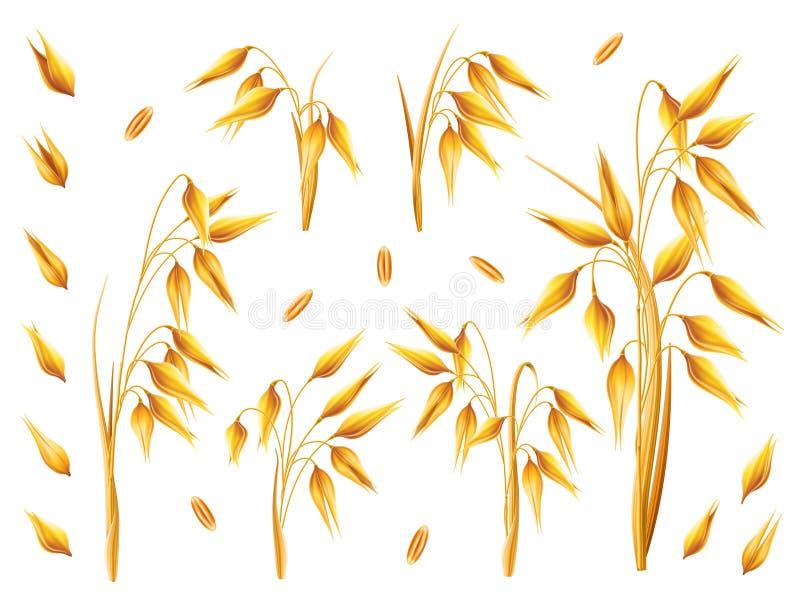 Реалистический пук овсов или ячменя изолированных на белой предпосылке Комплект вектора ушей овса Зерна хлопьев Сбор иллюстрация вектора