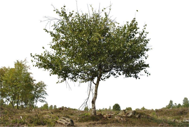 Реалистический силуэт дерева березы стоковое фото rf